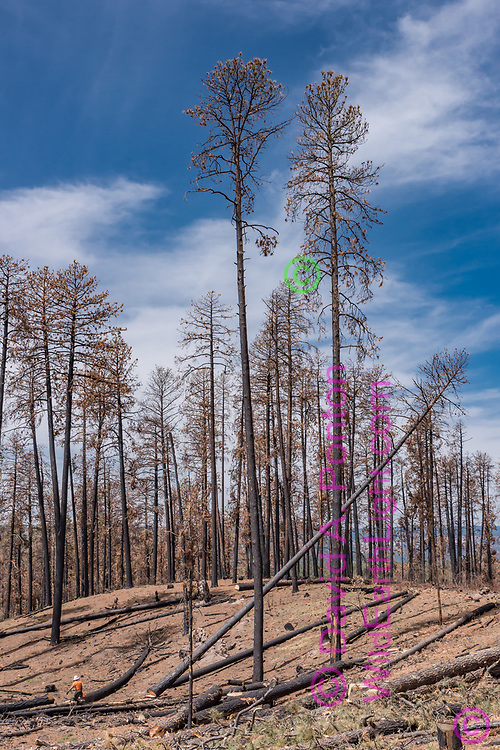 Tall ponderosa pine tree falls after being cut for timber salvage. The salvage logging was carried out about 10 months after the Cajete Fire that burned in June and July 2017, killing many large ponderosa pines from the intense heat of ground fire burning pine needles, sticks, and pine cones built up in more than a century of fire suppression. © 2018 David A. Ponton
