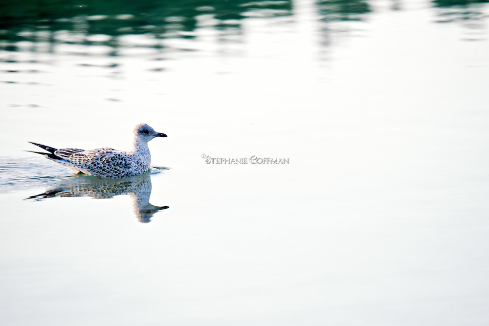 A spotted gull swims at Two Jack Lake near Banff, Alberta, Canada