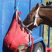 A horse eating from a bag of hay at the Wakatipu One Day Horse Trials at the Pony Club grounds,  Queenstown, Otago, New Zealand. 15th January 2012. Photo Tim Clayton