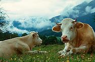 DEU, Deutschland: Hausrind (Bos taurus), ruhende Kühe auf einer Bergwiese, im Hintergund wolkenverhangene Berge, Rasse: Fleckvieh, Simmentaler, Berchtesgadener Land, Süddeutschland | DEU, Germany: Domestic cattle (Bos taurus), resting cattle on pasture, cloud-imposed mountains in background, race: Simmental Cattle, Berchtesgadener Land, Bavaria, Southern Germany |