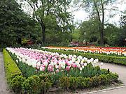 Tulips in a flowerbed, Madrid, Spain