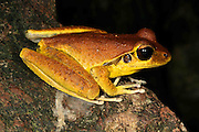 stoney creek frog (litoria junnguy), male, kuranda, north queensland