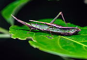 Pair of the pyrgomorph grasshopper Omura congrua mating in the rainforest of La Selva, Ecuador.
