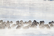 00748-05609 Canada Geese (Branta canadensis) flock on frozen lake,  Marion Co, IL