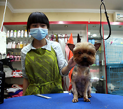 59646720   .A working staff trims the hair of a pet dog at a store in Tonglu County, east China s Zhejiang Province, May 14, 2013. Pet dogs hair was cut short as the hot summer is approaching, May 14, 2013. Photo by: imago / i-Images. UK ONLY