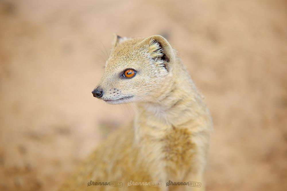 Yellow Mongoose (Cynictis penicillata). Kgalagadi, South Africa.