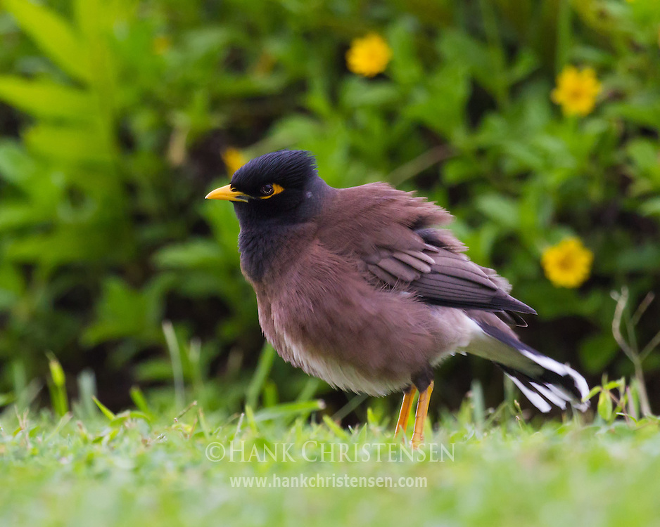 A common myna puffs its feathers out, insulating and changing the shape of its body