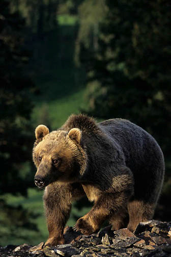 Grizzly Bear, (Ursus horribilis) Montana. In rocky terrain.   Captive Animal.