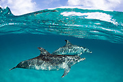 Atlantic Spotted Dolphin (Stenella frontalis) in the White Sand Ridge, Northern Bahamas