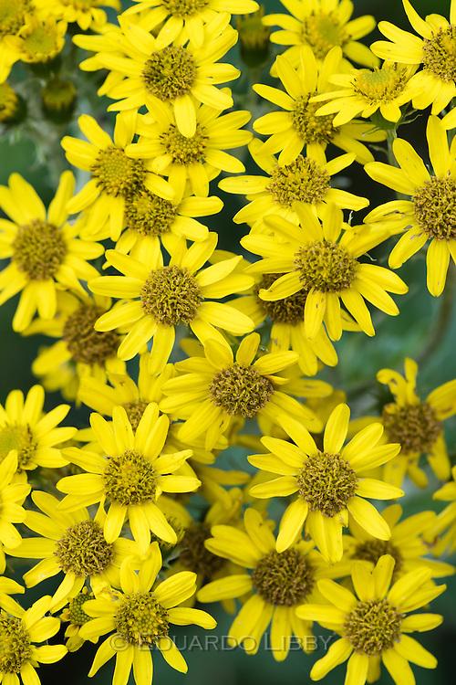 Yellow Senecio flowers, Irazu Volcano, Costa Rica. Photo by Eduardo Libby