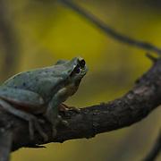 Mediterranean tree frog (Hyla meridionalis) on bush branch, Saint Martin de Londres, Hérault, France