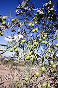 Olives on an olive tree blue sky background