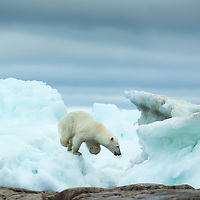 Canada, Nunavut Territory, Repulse Bay, Polar Bear (Ursus maritimus) running amid melting sea ice near Harbour Islands