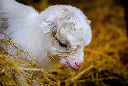 A pygmy goat kid just six hours old takes a first look at the world on a smallholding in South Lanarkshire, Scotland<br /> <br /> (c) Andrew Wilson | Edinburgh Elite media