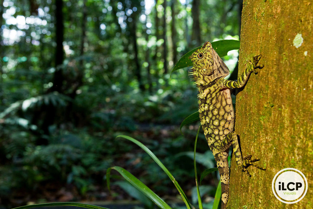 Borneo Anglehead Lizard (Gonocephalus borneensis) female on tree, Tawau Hills Park, Sabah, Borneo, Malaysia