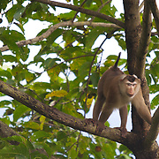 A adult male northern pig-tailed macaque (Macaca leonina) in the canopy forest at Pang Sida National Park, thailand...