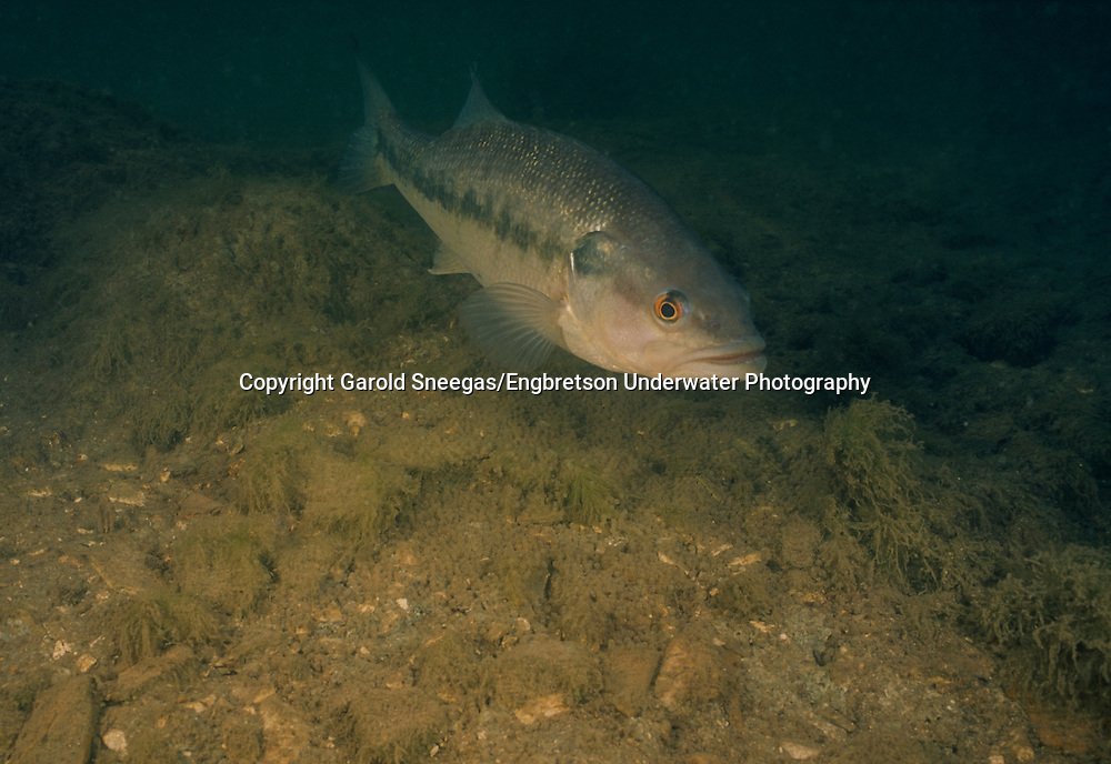 Spotted Bass (Male spotted bass guarding a nest in a Flint Hills stream.)<br />