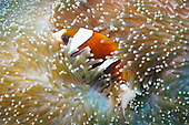 Sea Anemone and Clown Fish - Great Barrier Reef