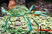 Crab in an Aquarium