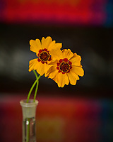 Coreopsis flower. Backyard Autumn Nature. Image taken with a Nikon D810a camera and 60mm f/2.8 macro lens (ISO 200, 60 mm, f/5.6, 1/13 sec).