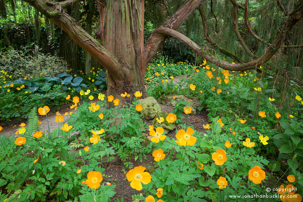 Welsh poppies - Meconopsis cambrica growing in a shady spot at Hidcote Manor Garden