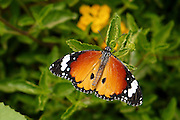 Lesser Fiery Copper (Lycaena thersamon) Butterfly