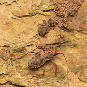 Two species of Reduviidae assassin bug sat side by side on the same tree trunk in Kaeng Krachan National Park, Thailand.