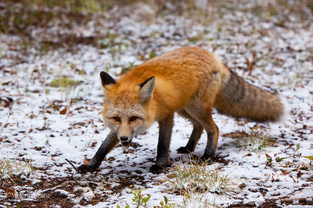 A red fox (vulpes vulpes) looks for food after an early fall snow at Kebler Pass near Crested Butte, Colorado.