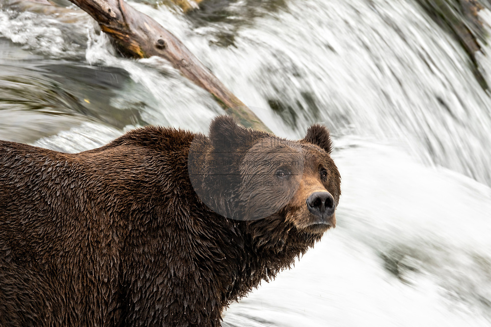 An adult Brown Bear known as 151 Walker, watches for spawning Sockeye Salmon at the lip of Brooks Falls in Katmai National Park and Preserve September 15, 2019 near King Salmon, Alaska. The park spans the worlds largest salmon run with nearly 62 million salmon migrating through the streams which feeds some of the largest bears in the world.