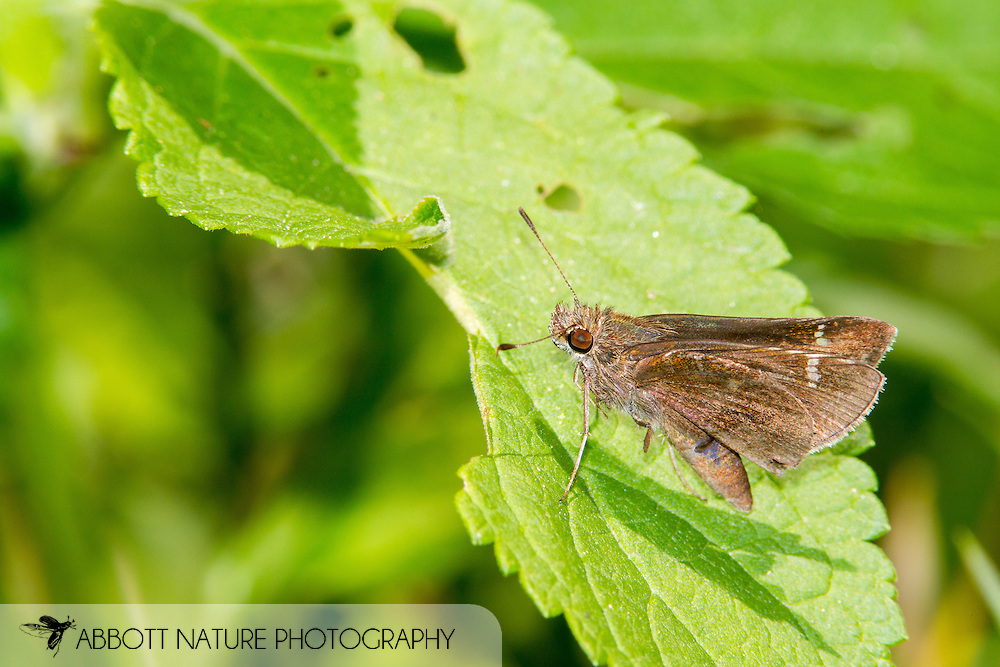 Clouded Skipper (Lerema accius)<br /> TEXAS: Travis Co.<br /> Zilker Botanical Garden; Austin<br /> 2-May-2015<br /> J.C. Abbott &amp; K.K. Abbott