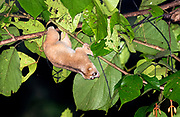 Philippine slow loris (Nycticebus menagensis) from Deramakot Forest Reserve, Sabah, Borneo.