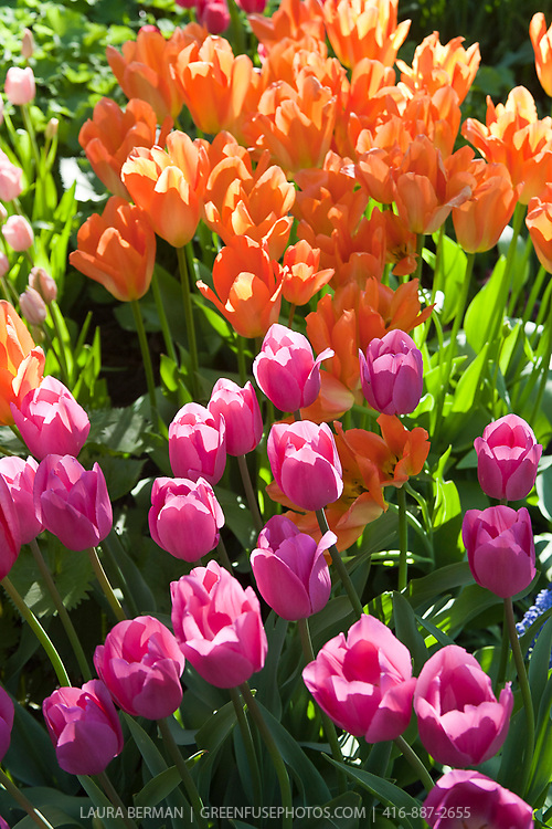 Masses of brightly colored spring tulips.
