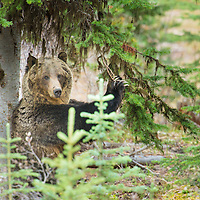 grizzly bear standing back rubbing tree