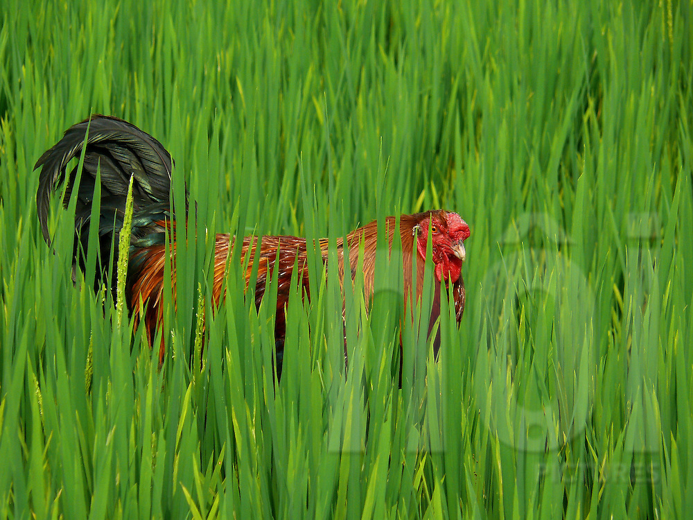 Rooster hidden in a rice field, Vietnam, Southeast Asia