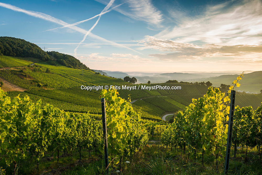 Piesport, Mosel, Germany, August 2016. Stunning views from the vineyards along the panorama route between Piesport and Minheim. The Moselle river twists and turns its way between Trier and Koblenz along one of Germany's most beautiful valleys. At some places the terraced vineyards are the steepest of all. Some of the best Riesling wine is made here. Castles towering over romantic wine villages line the banks of the river. Photo by Frits Meyst / MeystPhoto.com