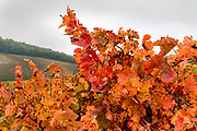 vine leaves cl;ose up during color change France