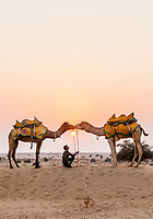 A young man posing camels for tourists to take pictures of at sunset, Thar Desert, Rajasthan, India.