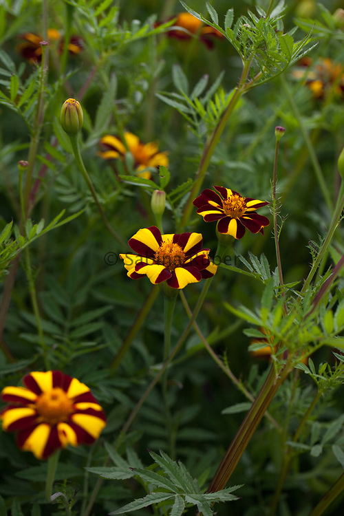 Tagetes patula 'Jolly Jester' - French marigold