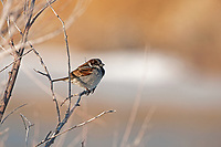 A common House Sparrow perches on a branch next to a river in northern Utah it cares little about the river this bird feeds on weed seeds that lay on the ground!