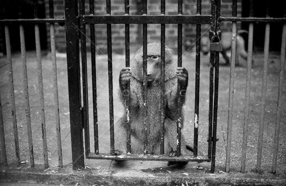 Baboon At The Central Park Zoo, New York