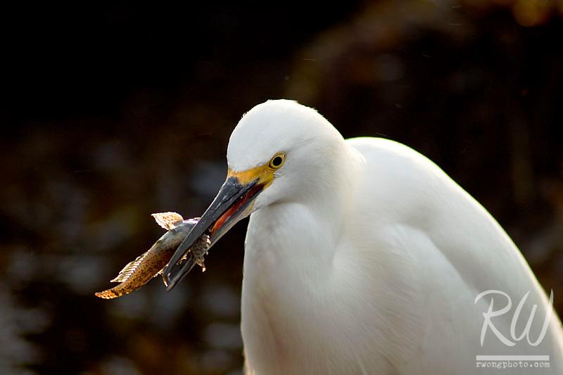 Snowy Egret (Egretta thula) Eating Fish, Little Corona Del Mar Beach, California