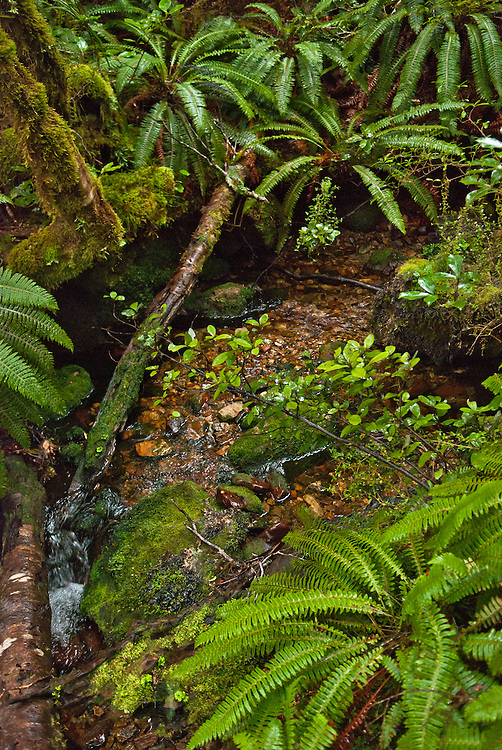 Crepe Ferns and tree branches on the banks of a subalpine mountain stream, Roaring Burn, Milford Track, New Zealand