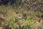 Spring in the Tucson Mountain District of Saguaro National Park