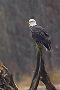 A bald eagle (Haliaeetus leucocephalus) rests on a stump along the Squamish River near Brackendale, British Columbia, Canada. Hundreds of bald eagles winter along the river to feast on spawning salmon.