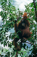 Adult female Bornean Orangutan (Pongo pygmaeus) sitting on a bent tree eating a fruit.  Gunung Palung National Park, West Kalimantan, Indonesia.