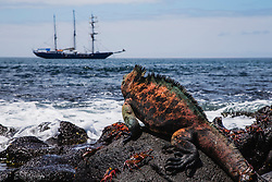 Endemic Marine Iguana (Amblyrhynchus cristatus) sitting on rocks overlooking the ocean in the Galapagos, Black Beach, Floreana Island, Galapagos Islands, Ecuador