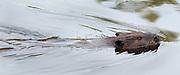 Beaver in pond, Mass Audubon, Ipswich River Wildlife Sanctuary, Topsfield, MA