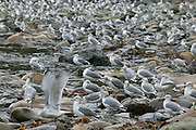 Hundreds of Western Gulls (Larus occidentalis) wait along Sombrio Beach on Vancouver Island for low tide to reveal an all-you-can-eat buffet.