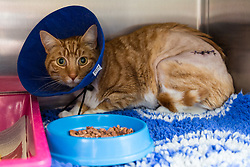 """Angus"" the ginger tom cat who was discovered impaled on three steel fence spikes in North London continues to recover at the RSPCA's Harmsworth Animal Hospital in north London, following lifesaving surgery to remove the 20mm thick spikes from his body. PICTURED: 'Angus' in his cage in the ward. He is starting to eat a little when tempted by staff. London, March 14 2018."