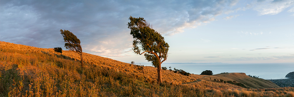 Lone trees on the Port Hills overlooking Sumner